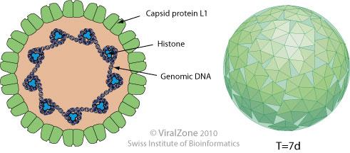 Milyen betegségeket okoz a HPV?