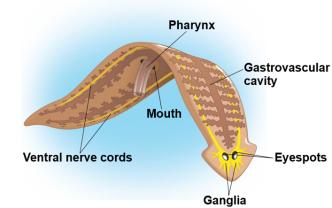 a platyhelmintes lárva szakaszai