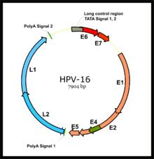 Milyen problémákat okozhat a HPV nőkben?   beton-emesztogodor.hu