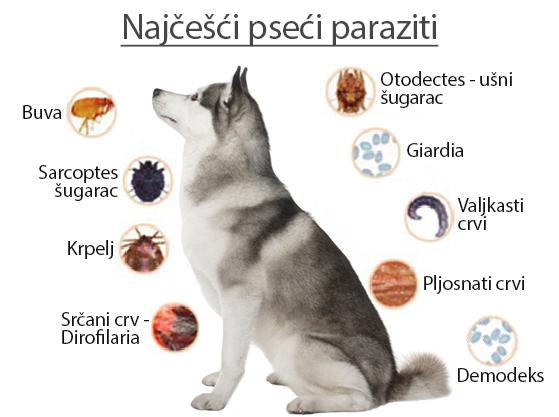 Giardia kod pasa simptomi - bestcarwash.hu