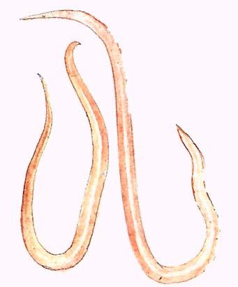 Rózsaszín féreg tabletta az emberi név