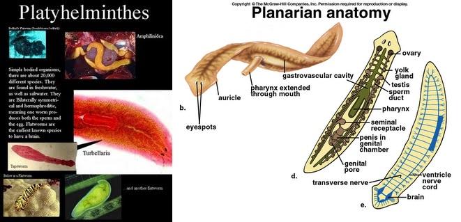 nemathelminthe alat reproductum)