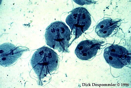 giardia és cryptosporidium ciszták