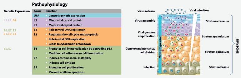 papillomavírus és fertőzéskontroll