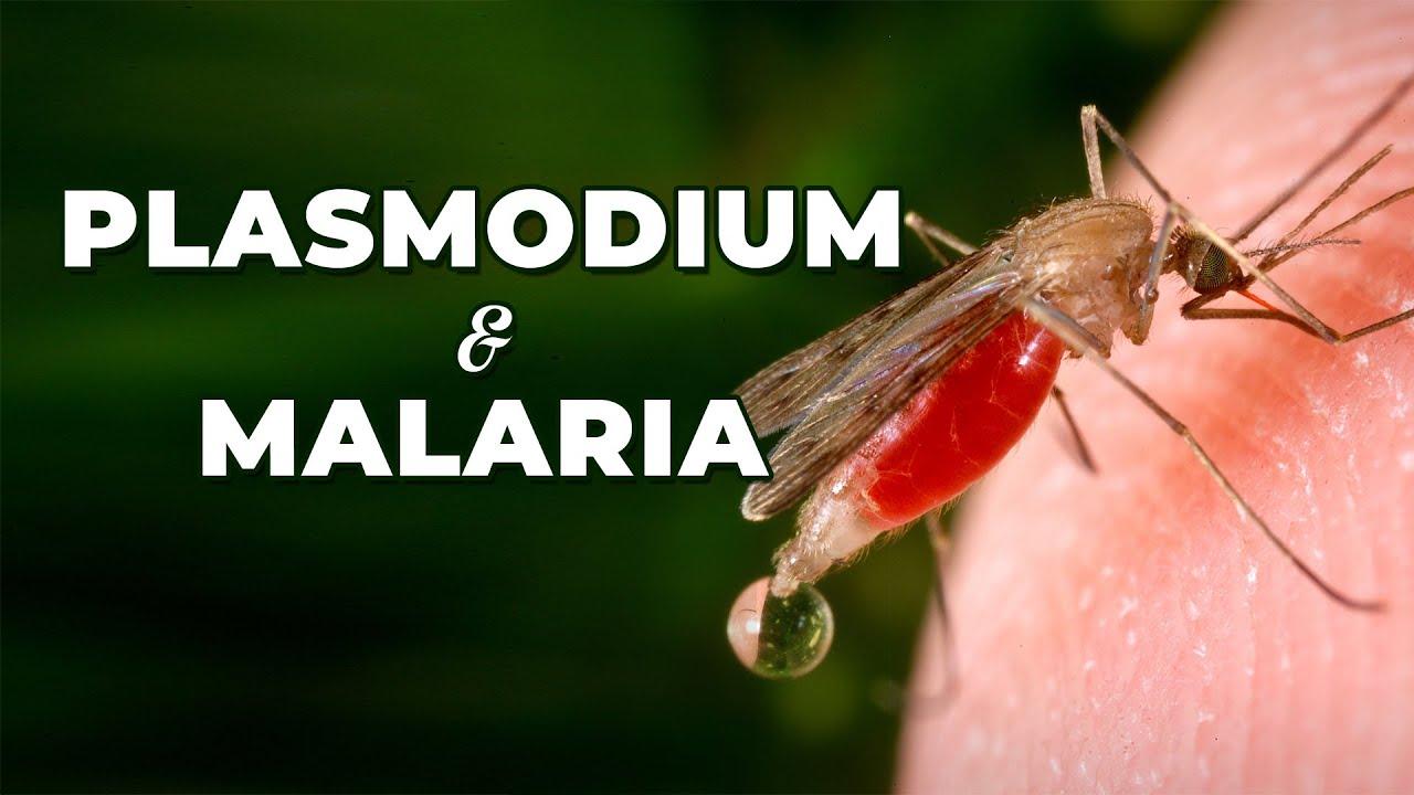Plasmodium malária és annak életciklusa, Mi a malária plazmodium reprodukciója