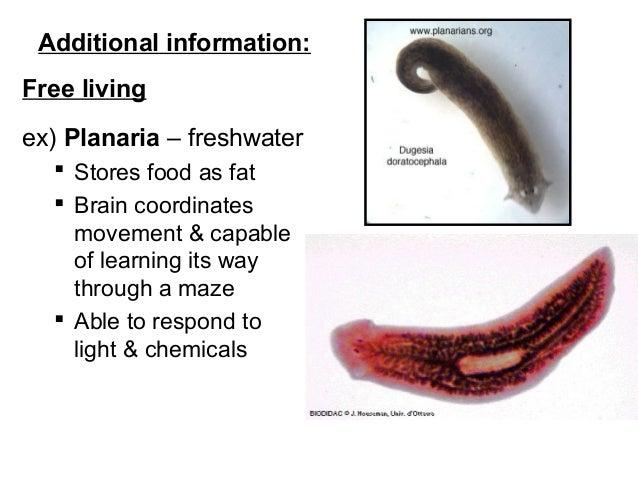 Platyhelminthes példák képek