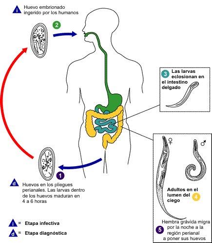 enterobiosis halmaza