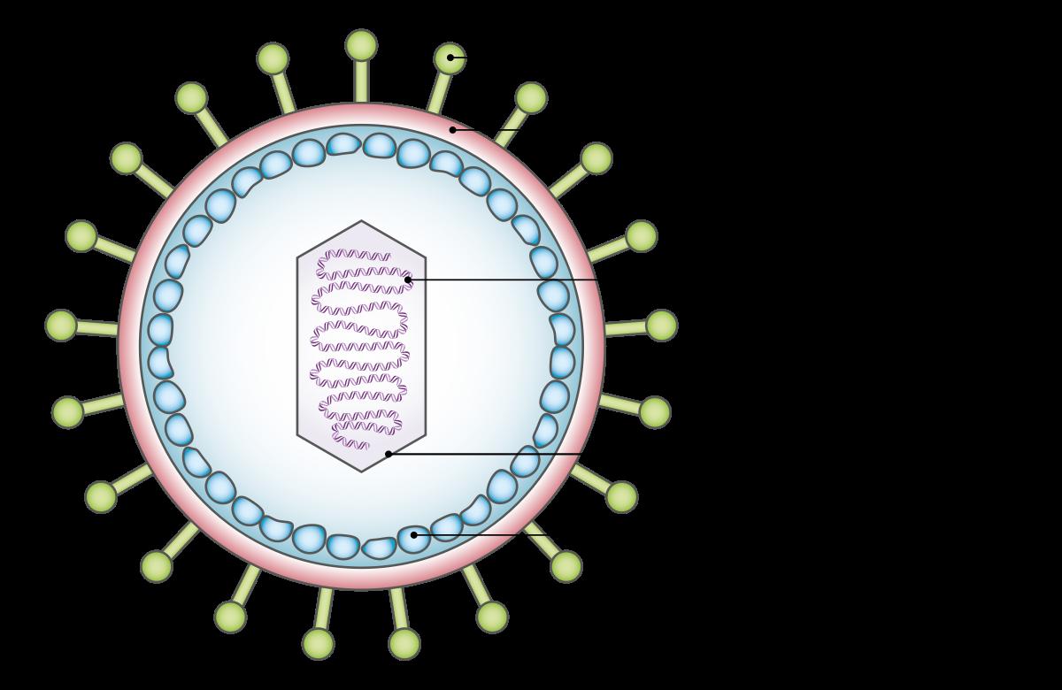 A HPV vírusról – különös tekintettel a terjedés módjaira és a vírus onkogén sajátosságaira