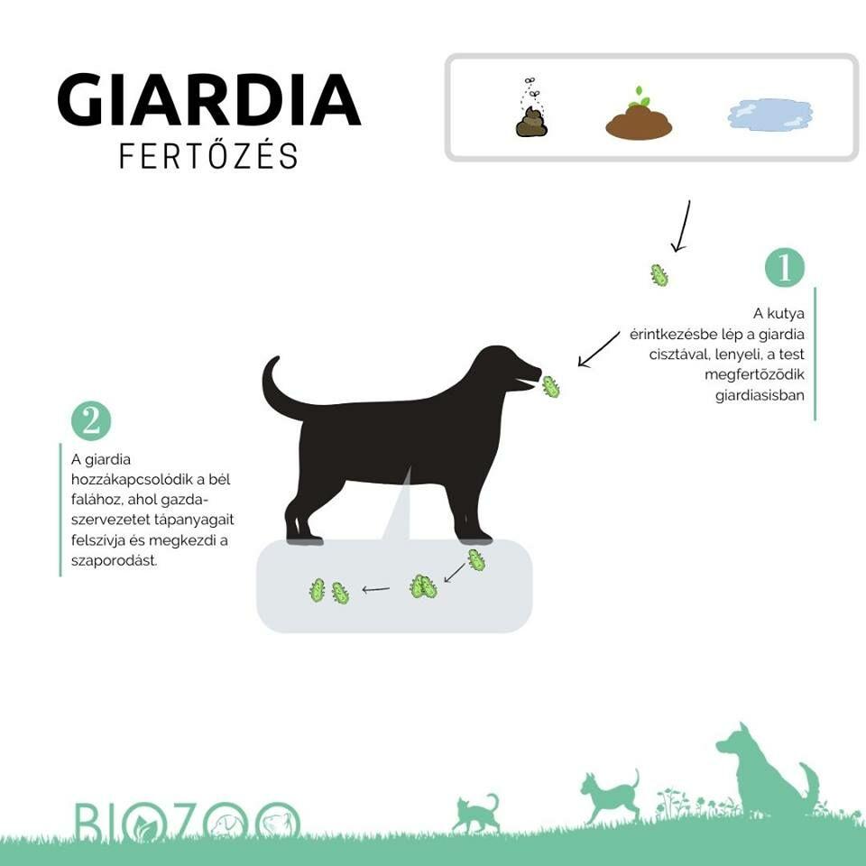 Giardiasis gyógynövény