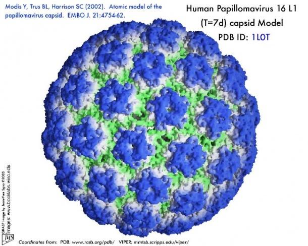 humán papillóma onkogén vírusai pikkelyes papilloma areola
