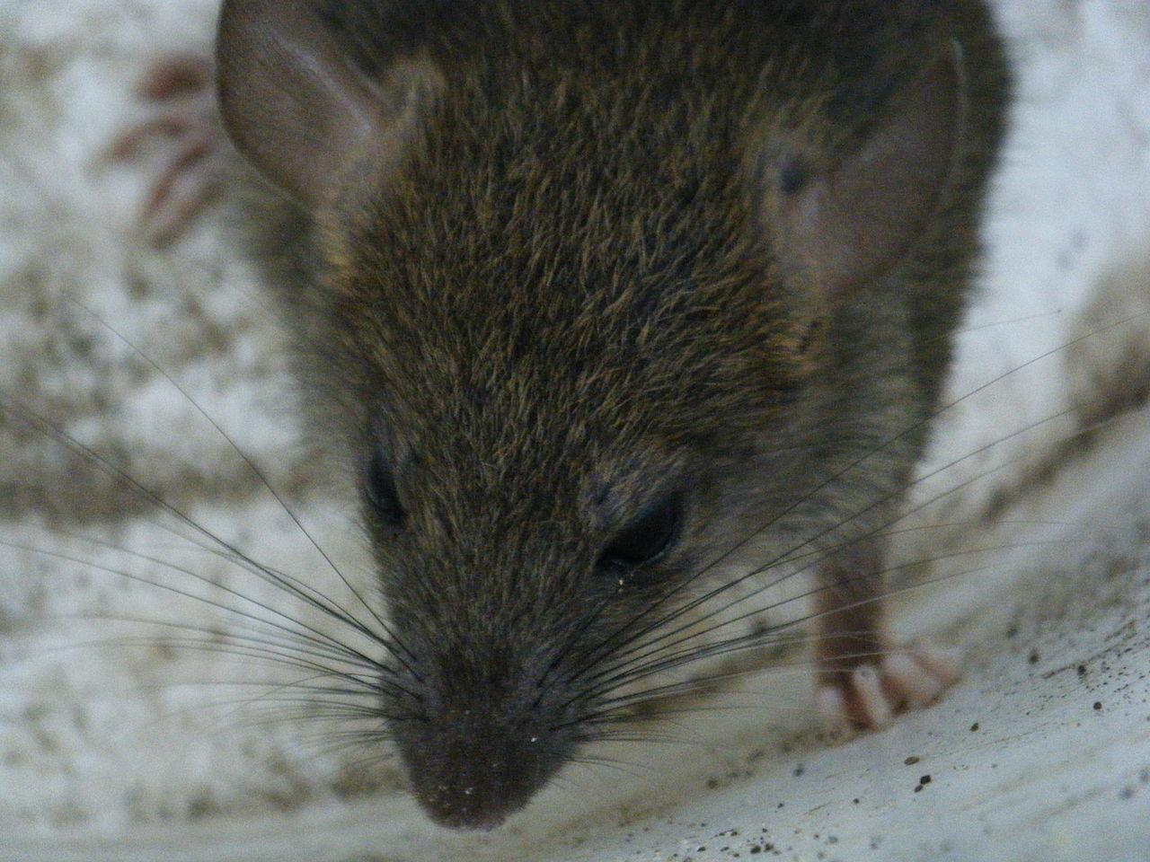 patkány terjedése papillom rachen entfernen
