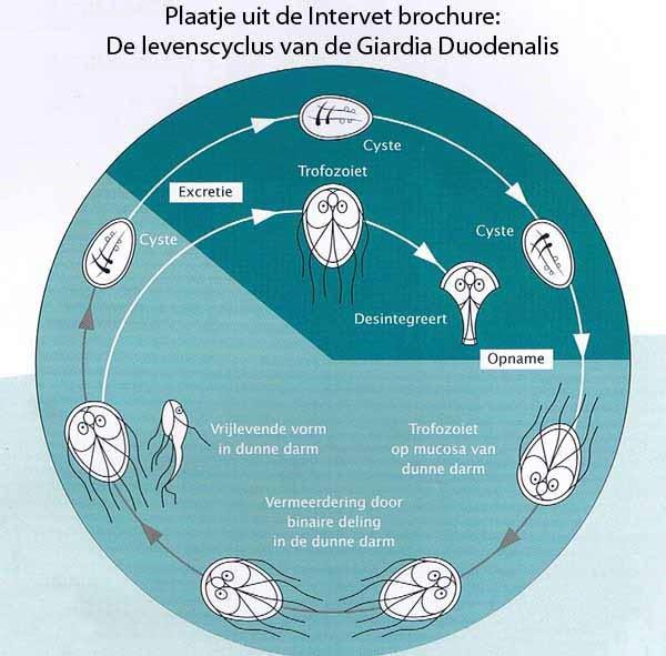 Giardia parasiet bij mensen Hogyan lehet kezelni a helminthiasist terhes nőkben