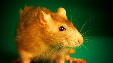 patkány terjedése szemölcsök és borotválkozás