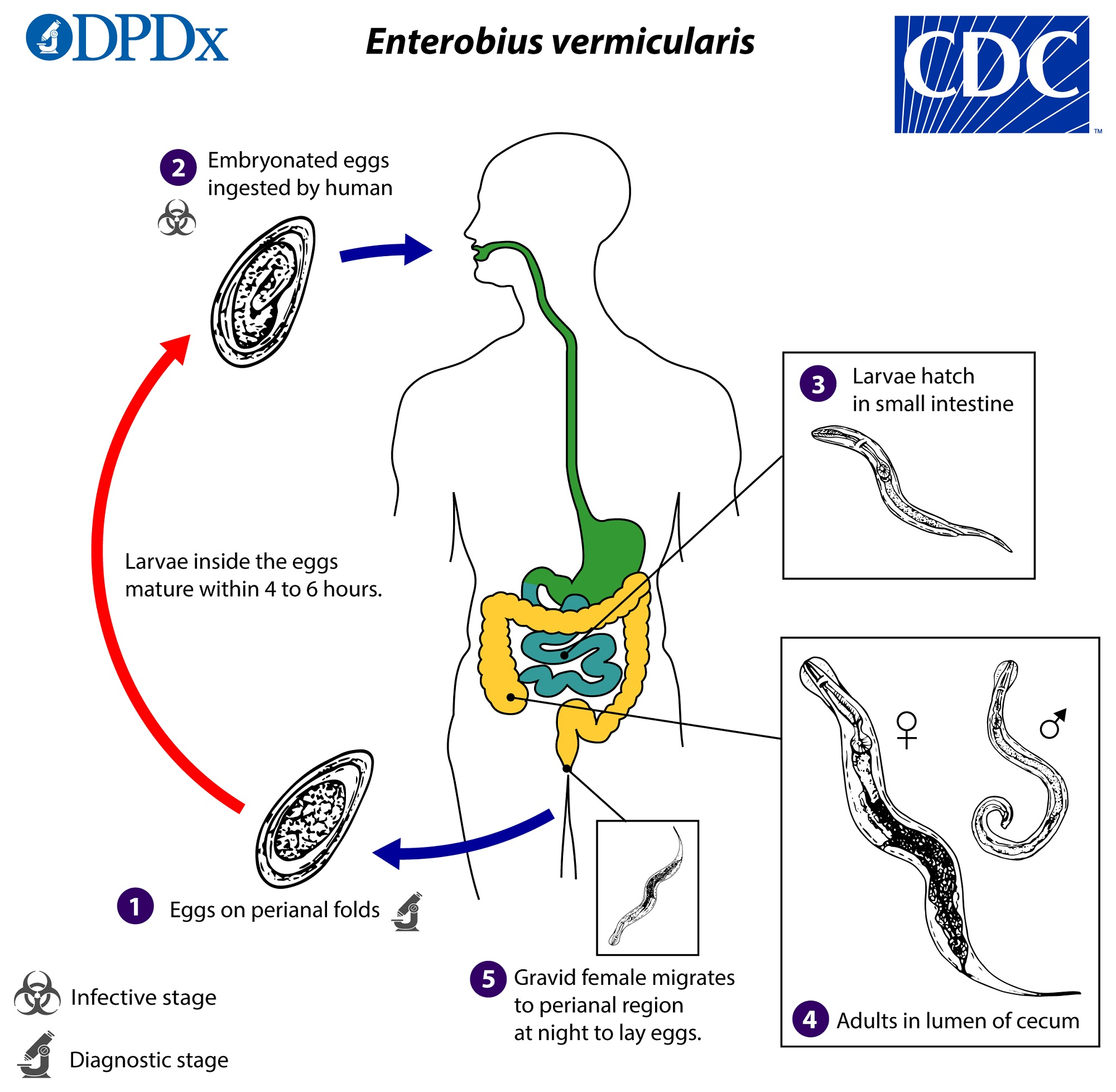 Rabinovich módszer az enterobiasis diagnosztizálására)