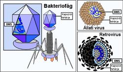 Hpv vírus szerkezete, Tartalomjegyzék