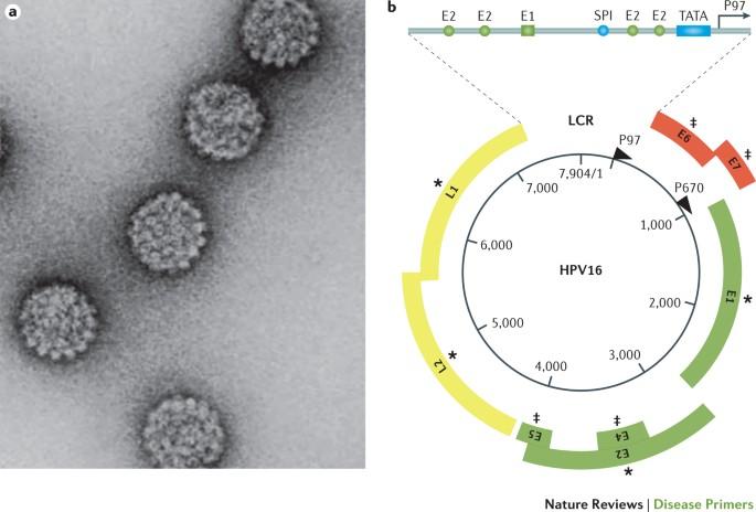 papillomavírus-kórokozó felelős