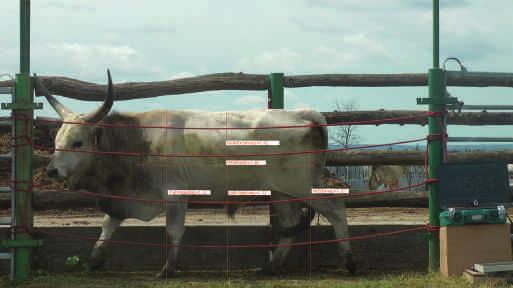 A szarvasmarhák papillomatózisa