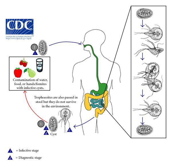 giardia és korai terhesség papillomavírus ember természetes kezelése
