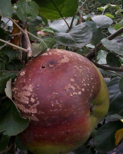 Ne hámozzunk! Az almahéj véd a rák ellen - EgészségKalauz - Alma bakteriális rák