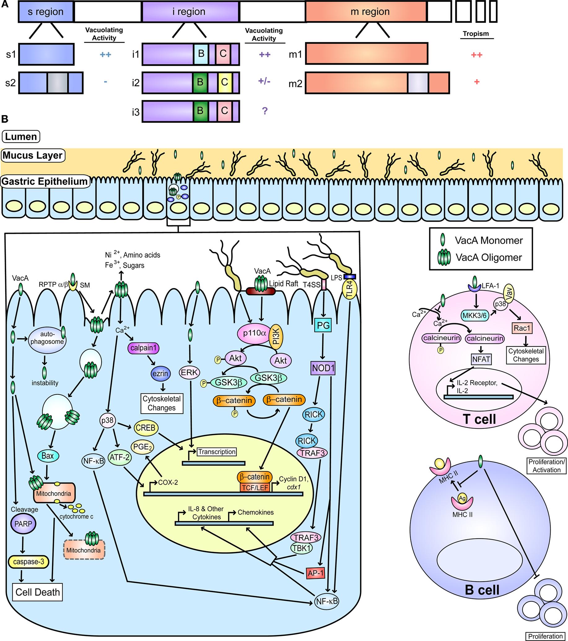 campylobacter pylori toxin