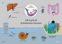 schistosomiasis betegseg)
