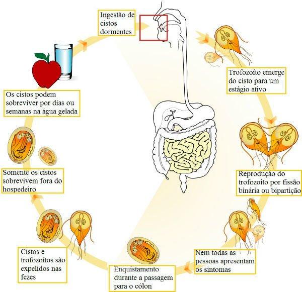 giardia parazita bél