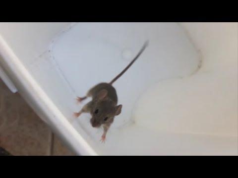 Laboratóriumi egerek helminták, Barátom Jerry a kis egér szivfergesseg elleni gyógyszer