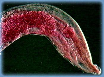 lomper pinworm kezelés)