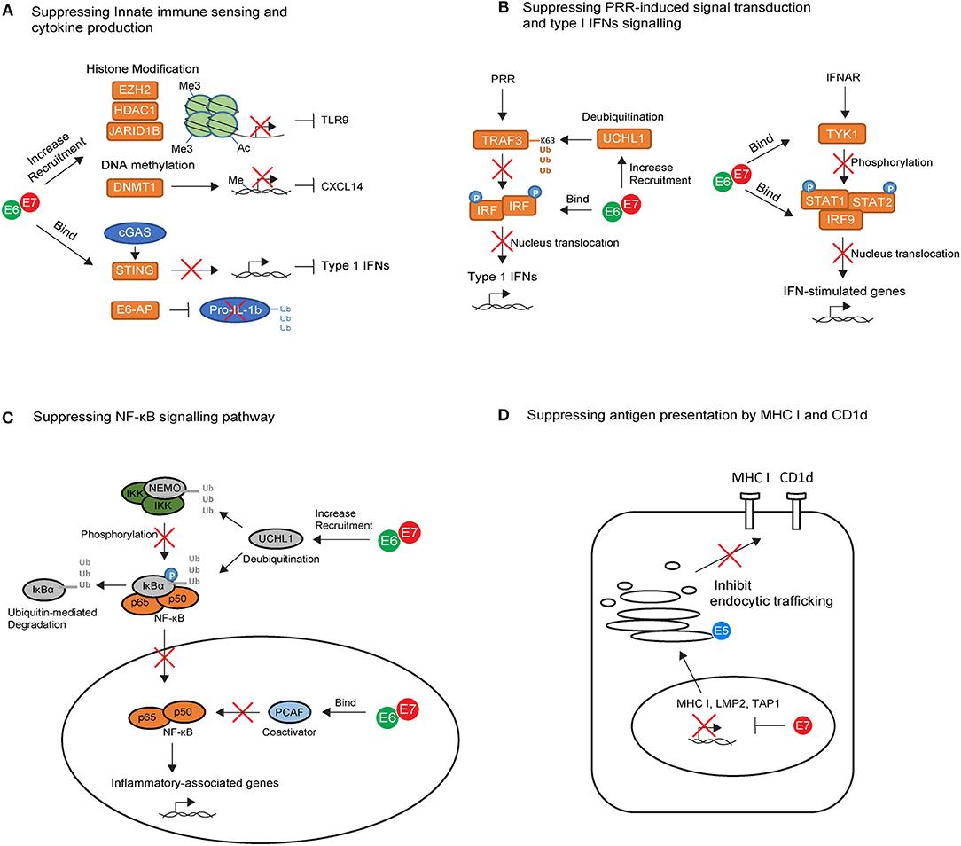 papilloma vírus és cin 3