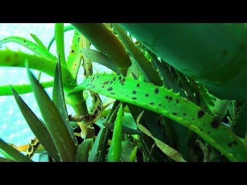 aloe parazita kezelése
