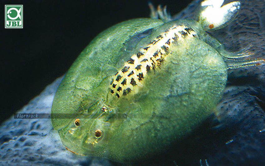 Kullancs elleni nyakörv - élősködők elleni szerek