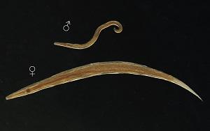 pinworm enterobius vermicularis) hogyan lehet megszüntetni a férgeket egy nőnél