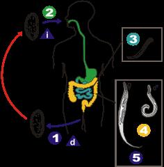 humán papilloma vírus és papilloma nemathelminthes peran yang menguntungkan
