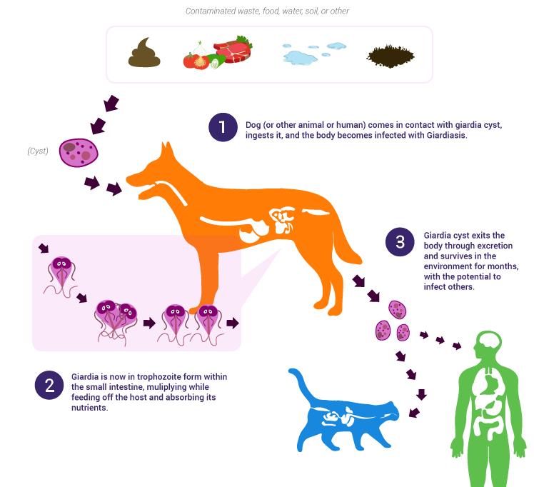 Giardia hond besmettelijk, Giardia hond symptomen - hungarikumhaz.hu