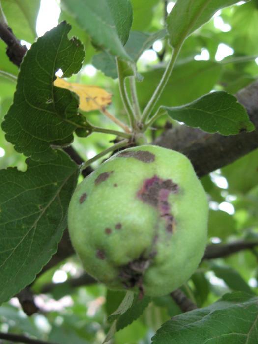 bakteriális rák az almában olcsó és hatékony gyógyszer a férgek ellen
