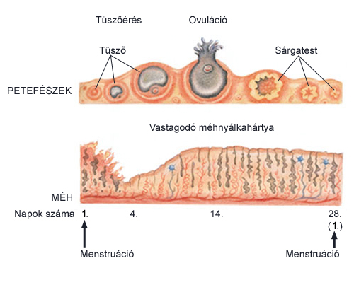Pinworm típusú férgek, Pinworm és ascaris típusú, Pinworm ascariasis