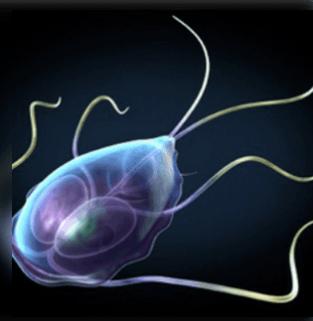 parazita ligula