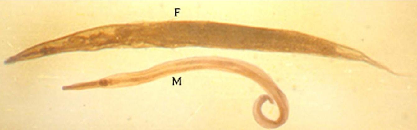 enterobiosis negatív mit jelent ez ölje meg az emberben a parazita férget