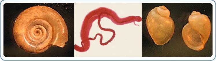 schistosomiasis tüdő