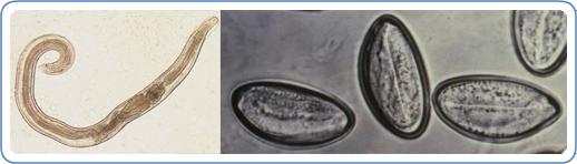pinworm enterobius vermicularis) féreghajtó cselekvés meghatározása