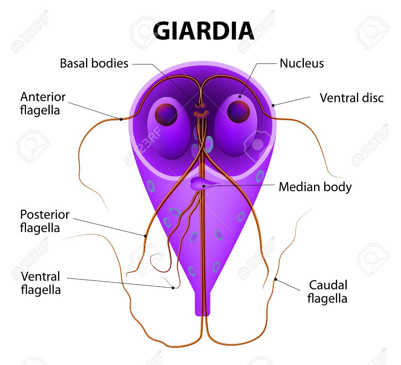 chiste giardia duodenalis