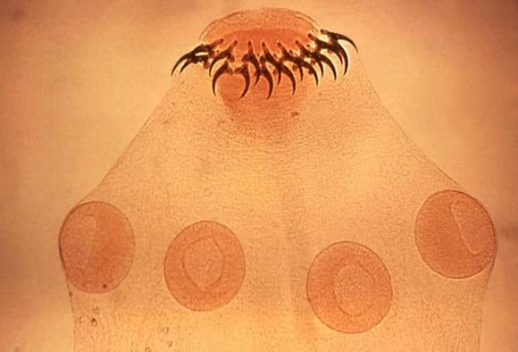 rovar vermox