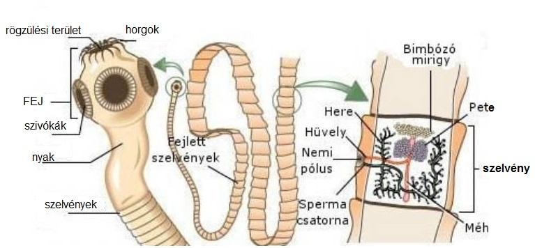férgek a nők kezelésében pinwormok 5 hónapos csecsemőknél
